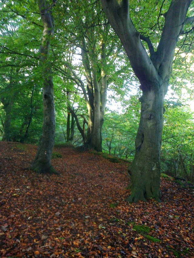 Beech trees in East Hills Woods at Costessey