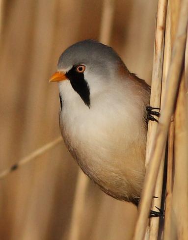 Bearded Tit (Reedling) male