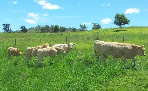 Blonde d'Aquitaine Cattle
