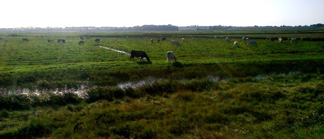 Cattle Grazing on Breydon Marshes