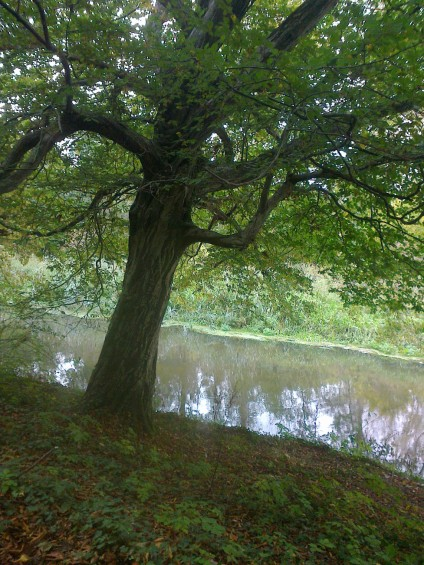 A Hornbeam Leaning Over Wensum River