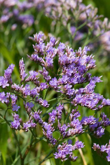 Sea Lavender - limonium vulgare