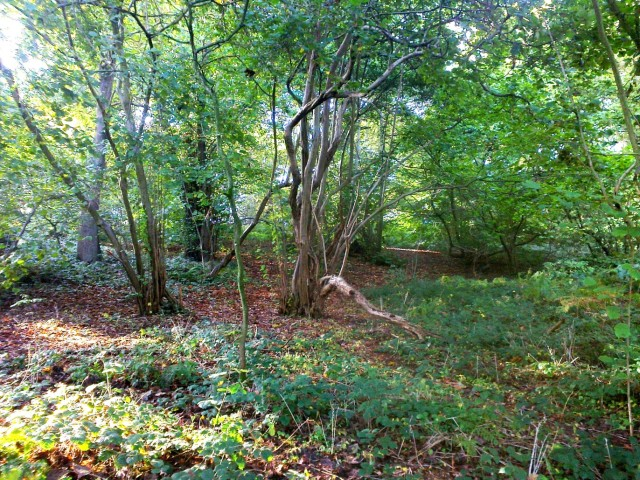 More Hazels, East Hills Costessey