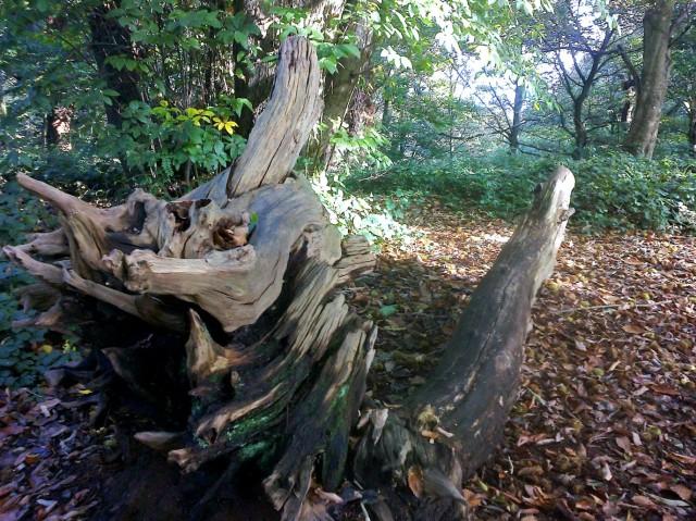 Tree Stump, East Hills, Costessey