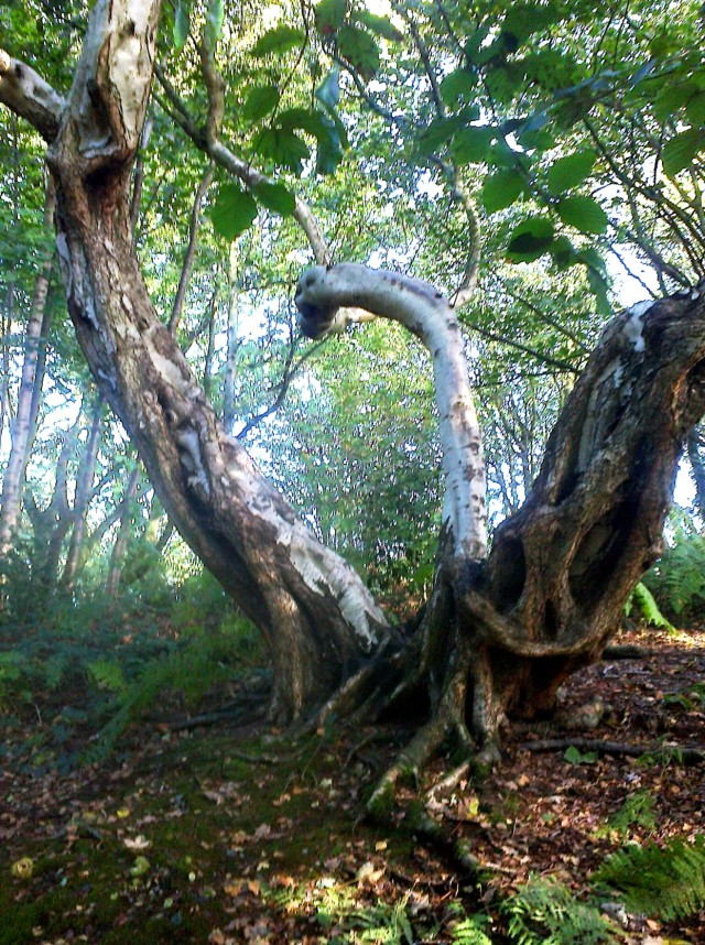 Ancient Birch, East Hills wood, Costessey
