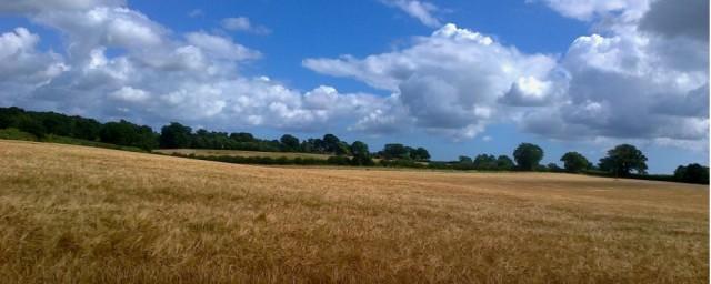A Grain Field Lothingland 07 16