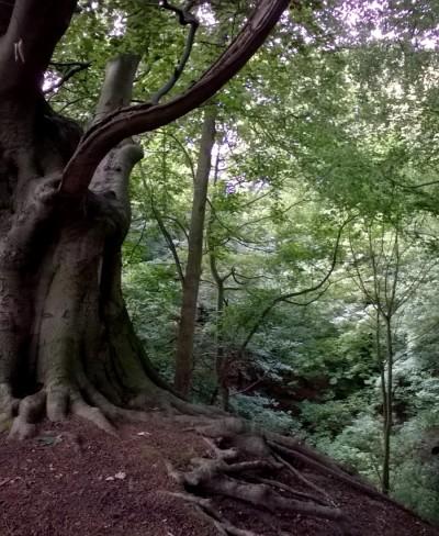 Beech Tree Whitlingham 07 16