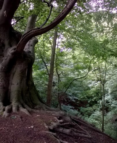 Beech Tree Whitlingham 07 16