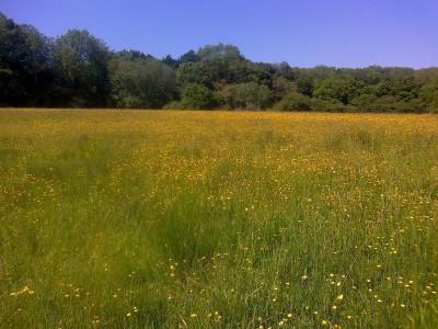 Buttercup meadow Shotesham 06 16