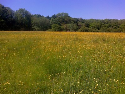 Buttercup meadow Shotesham 06 16