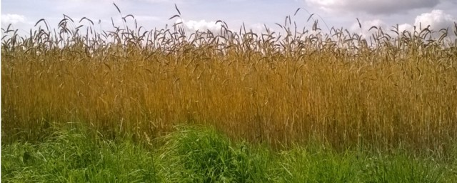 Grain Grass Sky Hempnall 07 16
