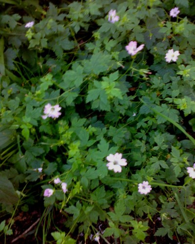 Hedgerow Geraniums 07 16