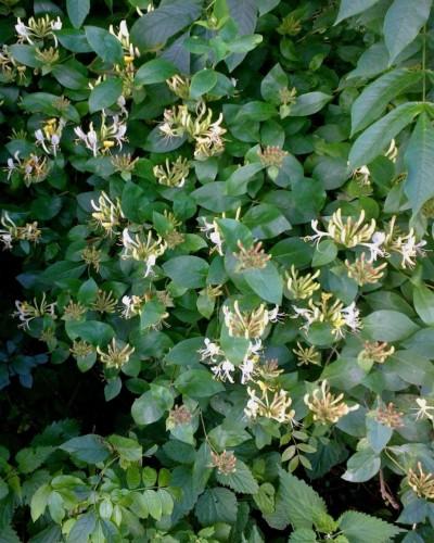 Honeysuckle cascade