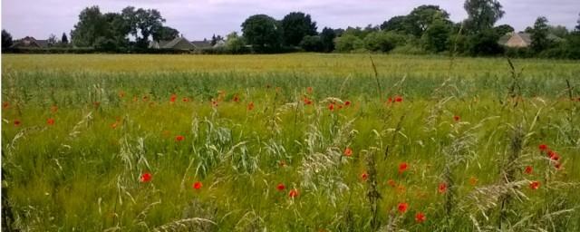 Poppies Upper Stoke 07 16