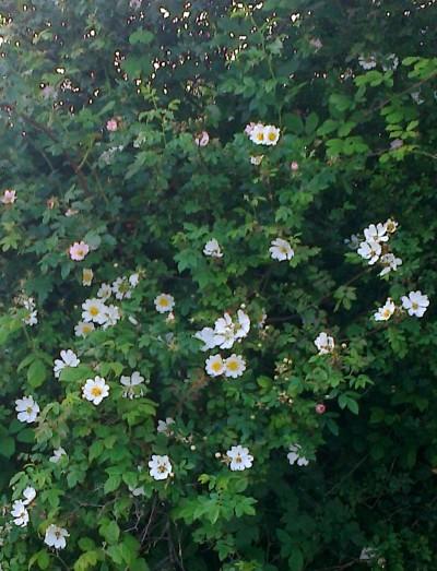 Sweetbriar Hedge