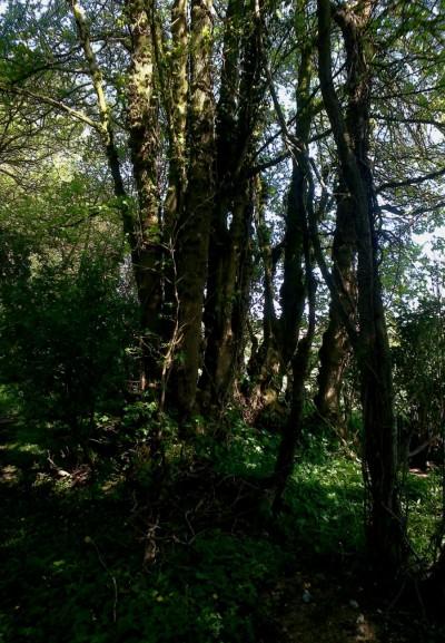 Tree_in_a_Saxlingham_lane_05_16