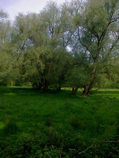 Willows Swardeston Watermeadows 05 16