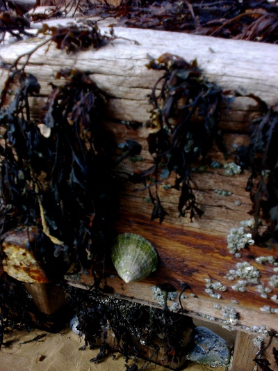 Limpet and Bladderwrack