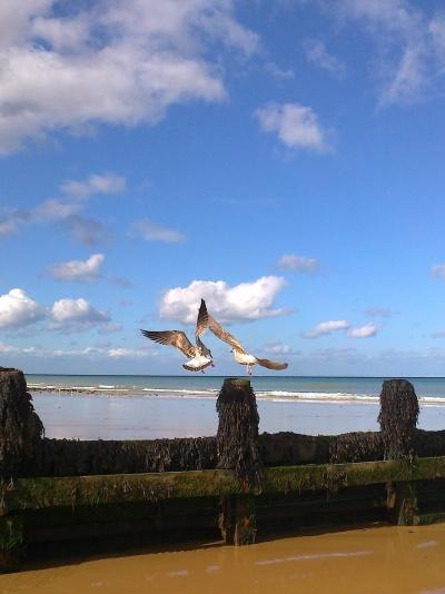 Battling Gulls