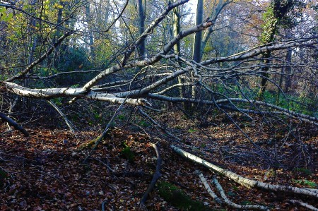 Fallen birch at Ringland