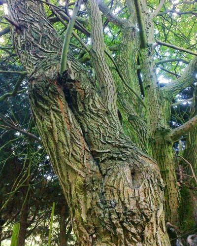 Deep fissured bark
