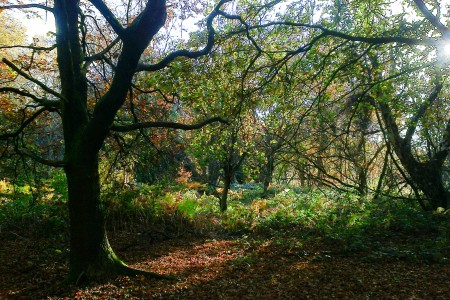 Oak at Ringland Hills