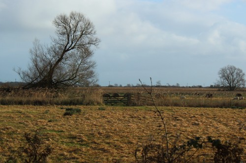 Acle marshes