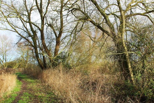 Naked willows 2