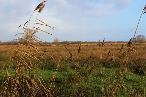 Reed and marshland