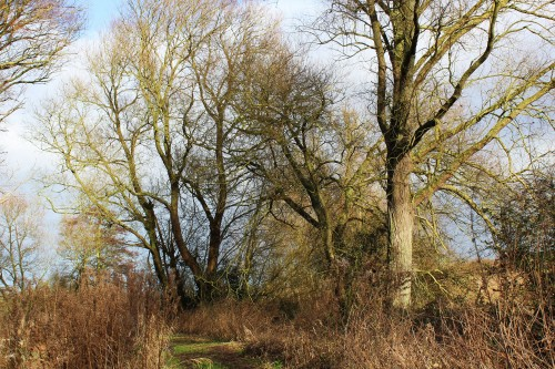 Naked willows 1