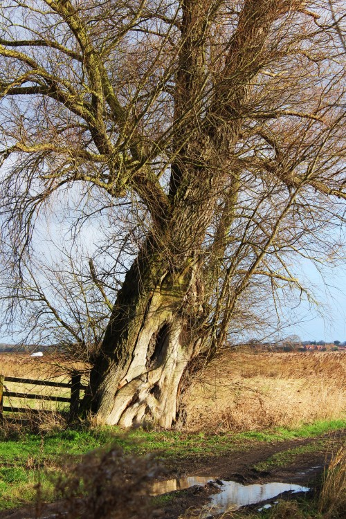 The leaning oak at Damgate Lane