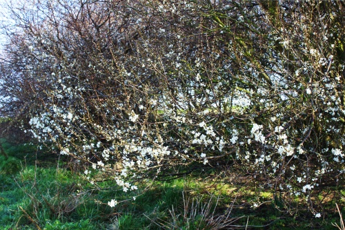 Black thorn at Breydon