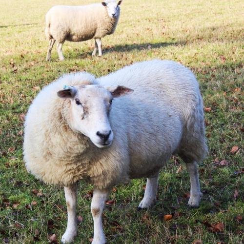 Sheep near Armighall