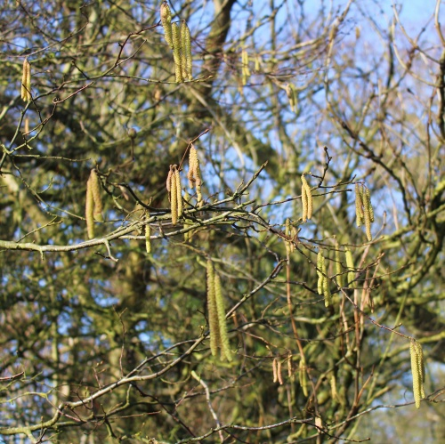 Catkins Arminghall Woods