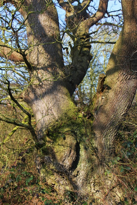 Characterful tree at Arminghall