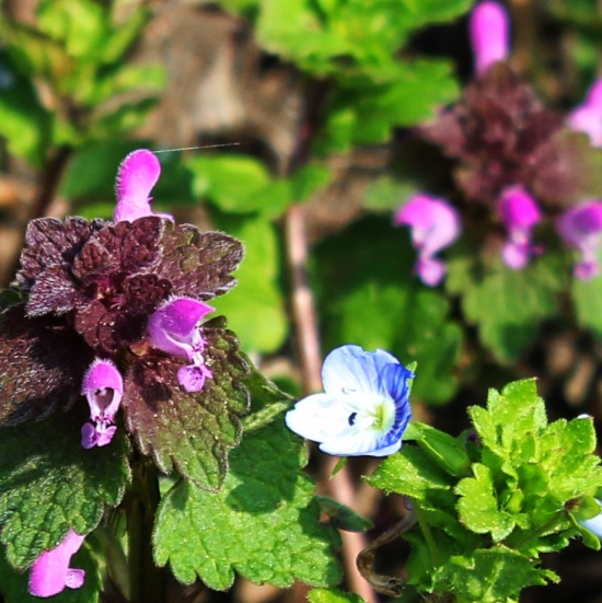 Red Dead Nettle and Speedwell