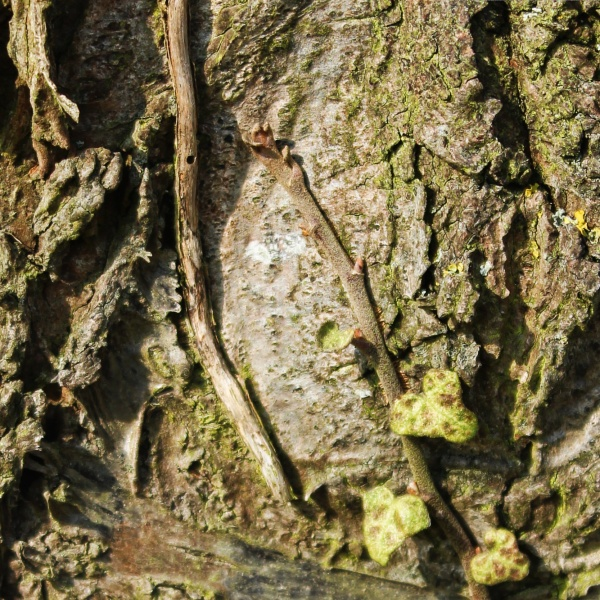 Bircch bark and old ivy