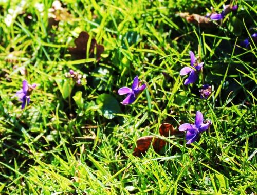 Wood Dog Violet