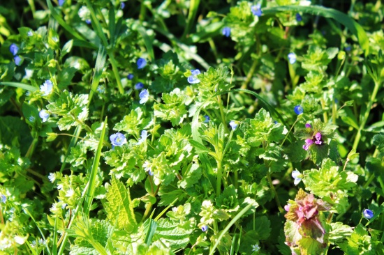 Speedwell and Red Dead Nettle