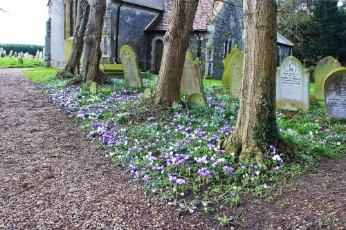 Crocuses at Burgh Castle March 7