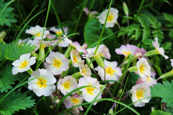 Primrose purple form