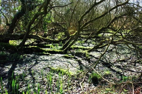 Swamp Wheatfen