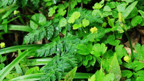 Moschatel close up