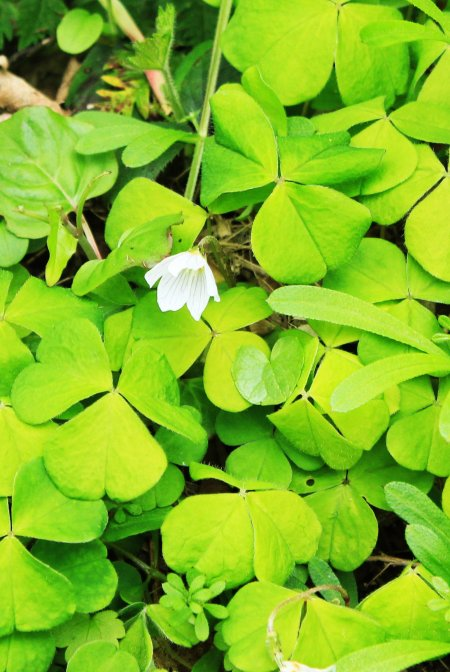 Wood Sorrel close up