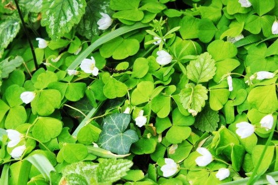 Wood Sorrel patch