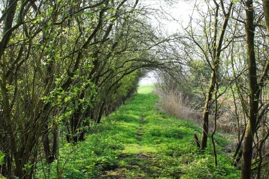 Cherry blossom tunnel, Tunstall dyke