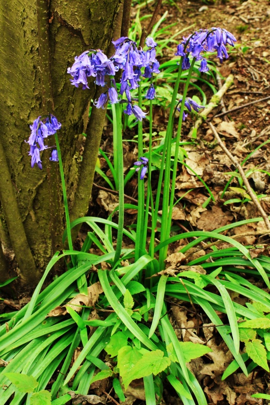 Bluebells upclose
