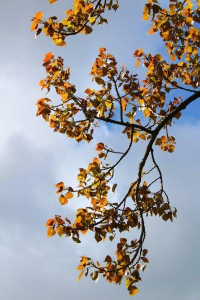 Black Poplar leaves of spring
