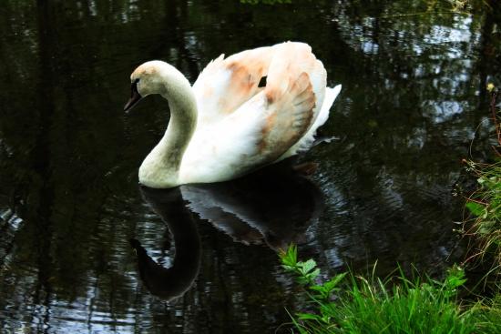 Immature Mute Swan 5