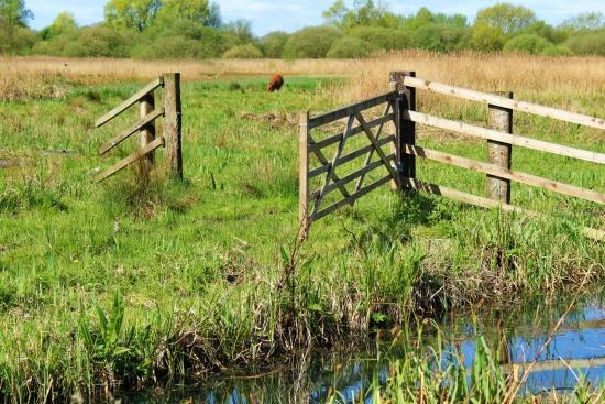 Surlingham Church Marsh grazing